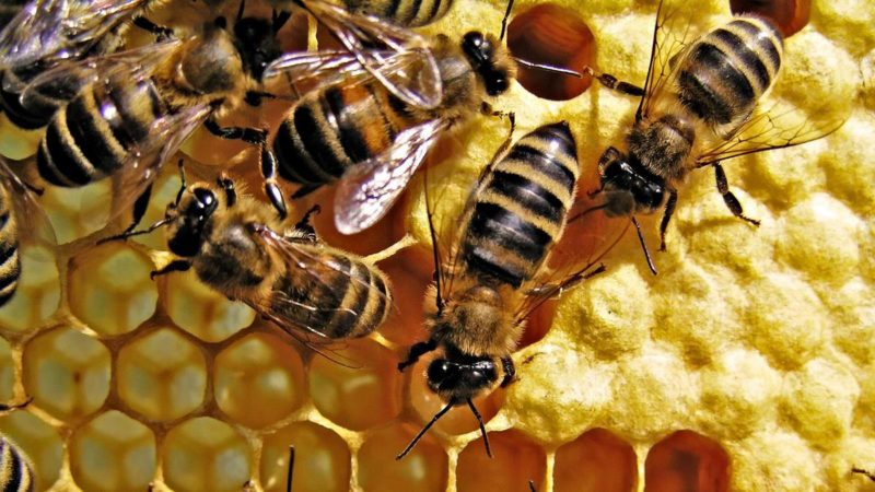 photo of honeybees on comb